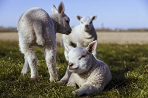 Pictures Sheep Cubs Grass Three 3 White Laying Blurred background animal