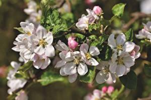Bilder Frühling Hautnah Blühende Bäume Bokeh Apple tree