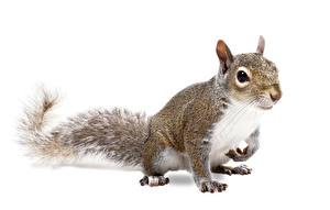 Photo Squirrels Rodents Pose White background Animals