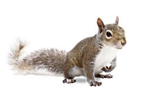 Hintergrundbilder Eichhörnchen Nagetiere Pose Weißer hintergrund Tiere