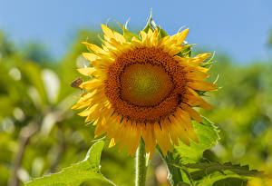 Wallpapers Sunflowers Closeup Blurred background flower