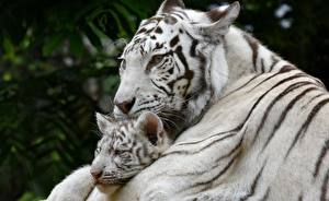 Pictures Tiger Cubs White 2