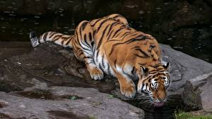 Picture Tiger Stone Drinking water animal