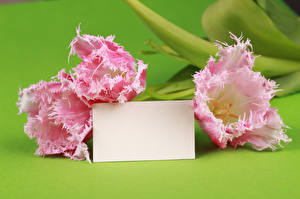 Images Tulips Closeup Template greeting card Three 3 Pink color flower