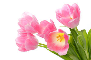 Pictures Tulip Closeup White background Pink color Flowers
