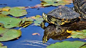 Fotos Schildkröten Wasser Teich ein Tier