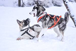 Picture Winter Dogs Snow 2 Husky Play Animals