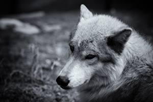Bureaubladachtergronden Wolf Hoofd Kijkt Zwart witte een dier