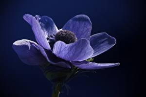 Hintergrundbilder Anemonen Nahaufnahme Blau Blumen