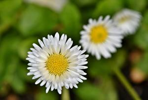 Bilder Gänseblümchen Hautnah Unscharfer Hintergrund Weiß Blüte