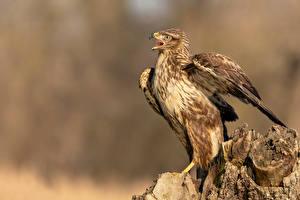 Fotos Vogel Baumstumpf Unscharfer Hintergrund Buteo buteo, Common buzzard ein Tier