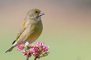 Pictures Bird Closeup Carduelis chloris animal