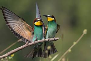 Fonds d'écran Oiseau Branche Deux Aile Merops apiaster Animaux