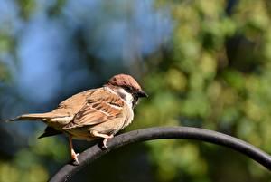 Hintergrundbilder Vögel Sperlinge Bokeh ein Tier