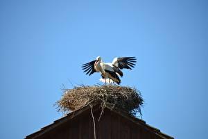 Bilder Vogel Storch Nest ein Tier