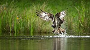 Wallpaper Bird Water Hawk Wings Water splash animal