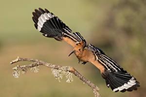 Fonds d'écran Oiseaux Aile Branche hoopoe, Upupa epops un animal