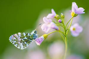 Bilder Schmetterling Unscharfer Hintergrund Anthocharis cardamines Tiere
