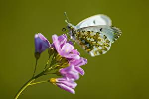 Hintergrundbilder Schmetterlinge Nahaufnahme Anthocharis cardamines Tiere