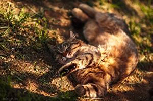 Fotos Hauskatze Schläft Ruhen Pfote Liegen Alexey Latysh