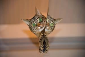Hintergrundbilder Hauskatze Starren Kopf Pfote Spiegelung Spiegelbild