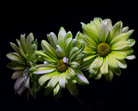 Image Chrysanths Closeup Black background Three 3 Green Flowers
