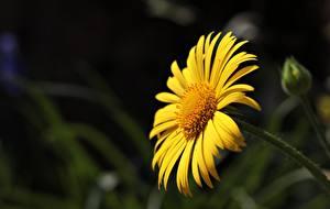 Hintergrundbilder Großansicht Bokeh Gelb Argyranthemum Frutescens, marguerite daisy Blumen