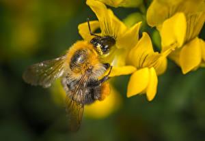 Fotos Hautnah Bienen Insekten Unscharfer Hintergrund ein Tier