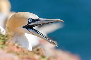 Photo Closeup Bird Beak Head Northern gannet Animals