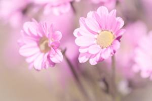 Photo Closeup Matricaria Blurred background Pink color flower