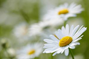 Wallpaper Closeup Camomiles Blurred background White flower