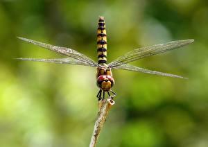 Hintergrundbilder Großansicht Libellen Insekten Unscharfer Hintergrund