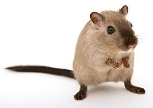 Fotos Hautnah Mäuse Nagetiere Weißer hintergrund Starren ein Tier