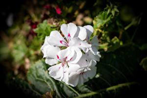 Bilder Großansicht Weiß Unscharfer Hintergrund Pelargonium Blüte