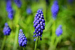 Bilder Hautnah Unscharfer Hintergrund Blau grape hyacinth Muscari Blüte