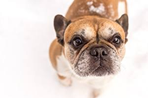 Pictures Dog French Bulldog White background Snout animal