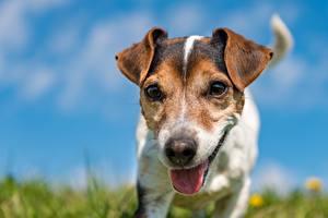 Hintergrundbilder Hund Jack Russell Terrier Zunge Schnauze Bokeh
