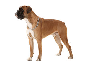 Pictures Dog White background Boxer Animals