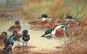 Bilder Entenvögel Gezeichnet Malerei Archibald Thorburn, Scottish painter, Shoveler and Tufted Duck Tiere