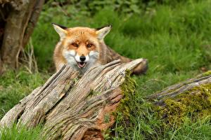 Bilder Füchse Unscharfer Hintergrund Baumstumpf Starren Schnauze ein Tier