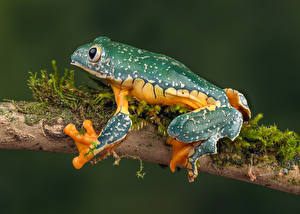 Wallpapers Frogs Closeup Branches fringed leaf frog Animals