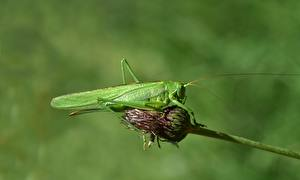 Wallpaper Grasshoppers Insects Blurred background Green animal