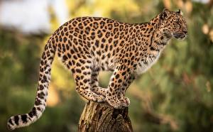 Hintergrundbilder Leoparden Bokeh Baumstumpf ein Tier