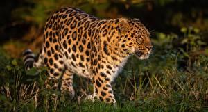 Fotos Leoparden Gras Unscharfer Hintergrund ein Tier