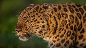 Bilder Leopard Kopf Schnauze Schnurrhaare Vibrisse