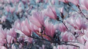 Picture Magnolia Closeup Branches Pink color Flowers