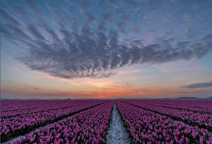 Images Netherlands Sunrise and sunset Fields Tulip Many Sky Violet Goeree-Overflakkee flower Nature