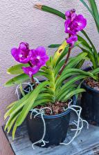 Bilder Orchideen Blumentopf Violett