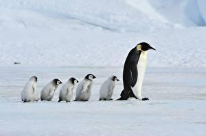 Bilder Pinguine Jungtiere Mutter Familie Emperor Penguins ein Tier