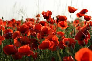 Fotos Mohnblumen Viel Rot Blüte